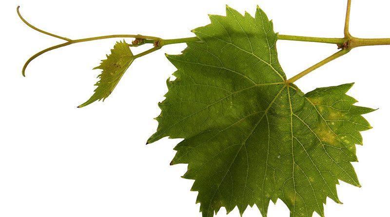 VINOGRADARI VOJVODINE NA OKUPU U TARAŠU: Tradicija i unapređenje proizvodnje grožđa