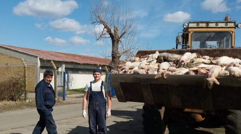 POMOR SVINJA NA FARMI U FARKAŽDINU: Loša ishrana odnese i 50 svinja na dan