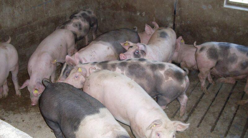 U SRPSKOM ITEBEJU: Potvrđena afrička kuga svinja